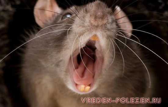 Обитель крысы